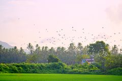 Group of Birds flying in a foggy morning over a Rice field royalty free stock images