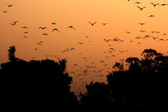 Group of birds flying in orange sky with trees Stock Images