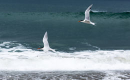 Group of birds flying over the Pacific ocean. Gulls on the background of emerald ocean waves during a storm Stock Image