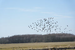 Group of birds. A group of freely flying birds over fields in early spring Royalty Free Stock Photos