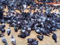 Group Of The Birds Pigeon fight over for food on The Ground. royalty free stock images
