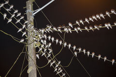 Group of birds roosting on electricity wires. Several birds of the same species are grouped to spend the night on the wires of electric current Stock Photography