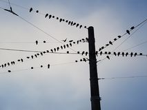 Group of birds sitting on wires. A flock of birds sitting on three wires against the blue sky Stock Photo