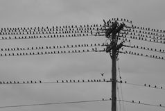 Group of Birds On Telephone Pole on Stormy Day Royalty Free Stock Photography