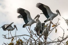 Group of birds on the top of tree. Open-billed storks on the top of tree with cloud and light blue sky background/ low contrast wild life photograph Stock Photography