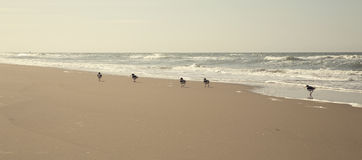 Group of birds is walking along the shoreline Stock Photography