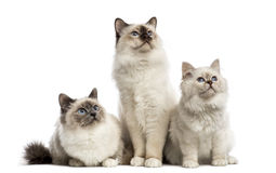 Group of Birman cats sitting in a row, royalty free stock photo