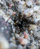 Group of black ants Stock Image