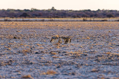 Group of Black Backed Jackals. On the desert pan at sunset. Etosha National Park, the main travel destination in Namibia, Africa Royalty Free Stock Photography