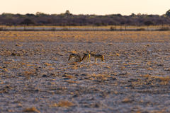 Group of Black Backed Jackals on the desert pan at sunset. Etosha National Park, the main travel destination in Namibia, Africa. Stock Images