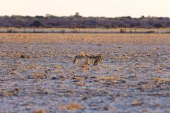 Group of Black Backed Jackals on the desert pan at sunset. Etosha National Park, the main travel destination in Namibia, Africa. Stock Image