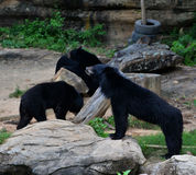 Group Black Bear Royalty Free Stock Photos