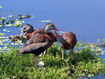 Group Black-Bellied Whistling Ducks Stock Images