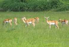 Group of Black bucks grazing in meadows 2 Stock Photo
