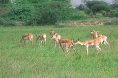 Group of Black bucks grazing in meadows 1 Stock Images