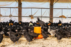 A group of black chicken Stock Photo