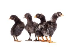 Group of black chickens looking with suspicion - isolated Stock Photography
