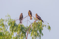 Group of Black-eared Kite Royalty Free Stock Photos