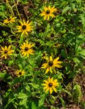 Black-eyed Susan Wildflowers – Rudbeckia hirta. Group of Black-eyed Susan Wildflowers, a daisy like wildflower with showy golden yellow rays surrounding a royalty free stock image
