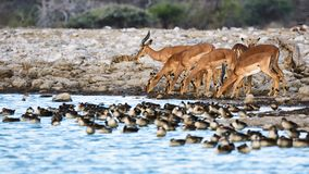 Group of black face dimpala Aepyceros melampus petersii. Group of black faced impalas Aepycerus melampus petersii drink at a waterhole in Namibia, along with a Royalty Free Stock Photo