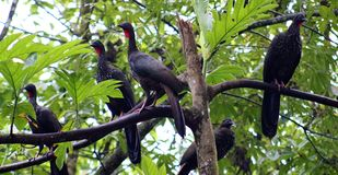 Group of Black fronted piping guan wild Costa Rica turkey like bird Royalty Free Stock Photo