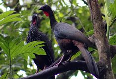 Group of Black fronted piping guan wild Costa Rica turkey like bird Royalty Free Stock Image