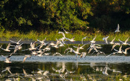 Group of Black Headed Gulls Royalty Free Stock Images