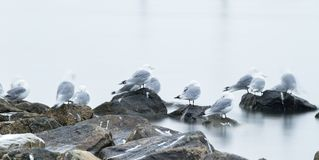 Group of black-legged kittiwake (Rissa tridactyla) resting - sleeping on the rocks very early in the morning at the port of. Longyearbyen, Svalbard, Norway royalty free stock images