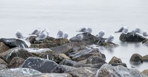 Group of black-legged kittiwake (Rissa tridactyla) resting - sleeping on the rocks very early in the morning at the port of. Longyearbyen, Svalbard, Norway royalty free stock photography