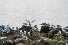 Group of black-legged kittiwake (Rissa tridactyla) resting - sleeping on the rocks very early in the morning at the port of. Longyearbyen, Svalbard, Norway stock photo