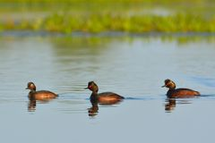 Group of Black Necked Grebes on Water Royalty Free Stock Photo