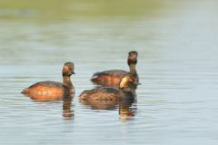 Group of Black Necked Grebes on Water Royalty Free Stock Photos