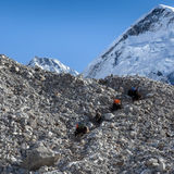 Group of black Nepali yaks carrying their heavy. Group of black Nepali yaks carrying their heavy load with Everest summit on the background. Yaks caravan loaded Stock Photos