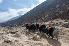 Group of black nepali yaks carrying their heavy. Group of black nepali yaks carrying their heavy load in Himalayan mountain landscape. Yaks caravan loaded with royalty free stock photo