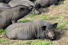 A group of black pigs play and sleep Stock Photos