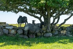 Group of black sheep  climbing over a rock wall seeking shelter. From the hot sun under a tree Stock Photos