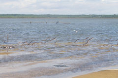 Group of Black Skimmer at Lagoa do Peixe Stock Photography