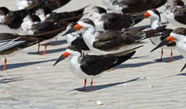 Black Skimmers at Barefoot Beach Stock Image
