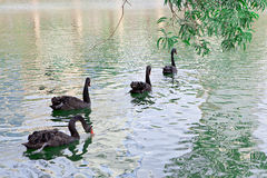 Group of black swans Stock Images