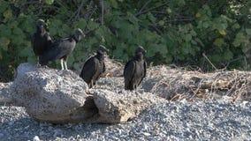 Group of Black Vultures, Coragyps atratus, loafing on beach. A Group of Black Vultures, Coragyps atratus, loafing on beach stock video