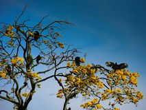 A group of black vultures perched on the branch of a tree with yellow flowers one of them with the wings open warming royalty free stock image