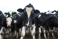 Group of Black and White Cows in a Field. Group of Black and White Cows in a Muddy Field Stock Photography