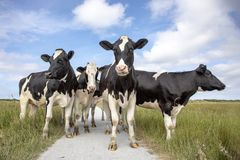 Group of black and white cows, friesian holstein, standing on a path in a pasture under a blue sky and a faraway straight horizon