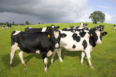 Group of black and white cows in pasture Royalty Free Stock Image