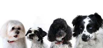 Group of black and white dogs. Sitting side by side on white background Stock Photo