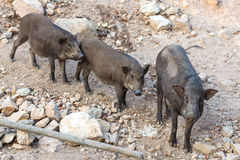 Group of black wild boar standing Stock Photography