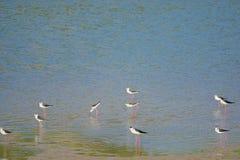 Black-winged Stilt. A group of Black-winged Stilt searched for food at riverside. Scientific name:Himantopus himantopus Stock Photography