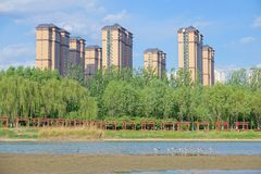 Bird and city. A Group of Black-winged Stilt stand in river near by modern buldings. Scientific name:Himantopus himantopus Stock Photo