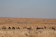 GROUP OF BLESBUCK. A herd of blesbuck in the veld grazing Stock Image
