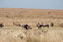 GROUP OF BLESBUCK. A herd of blesbuck in the veld grazing Royalty Free Stock Images